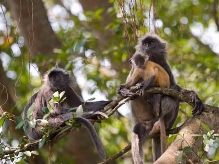 Silver Leaf Monkey (Mike Galtry)