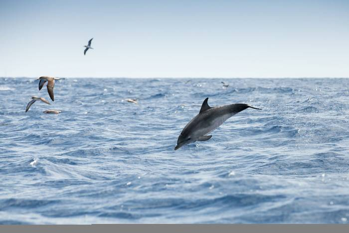 Common Dolphin, Shearwaters, Madeira Shutterstock 716046517
