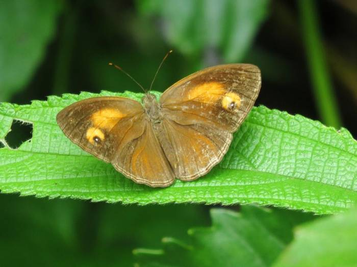 Glad-eye Bushbrown (David Hartill)