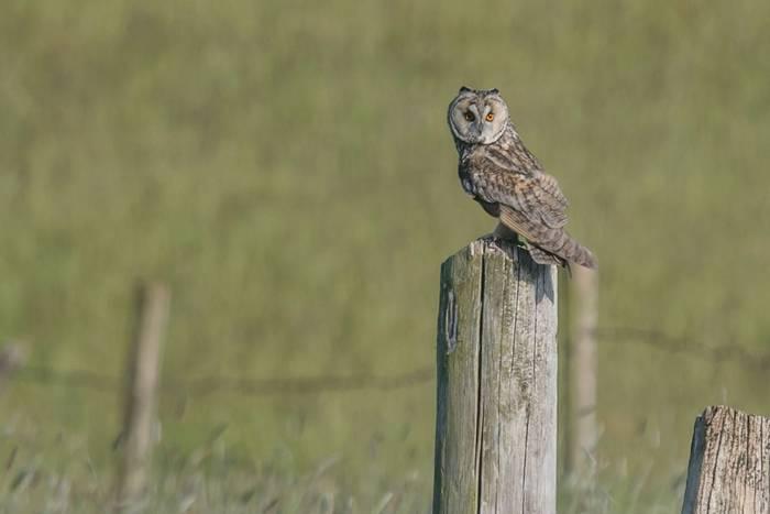 Long-eared Owl (Tim Melling)