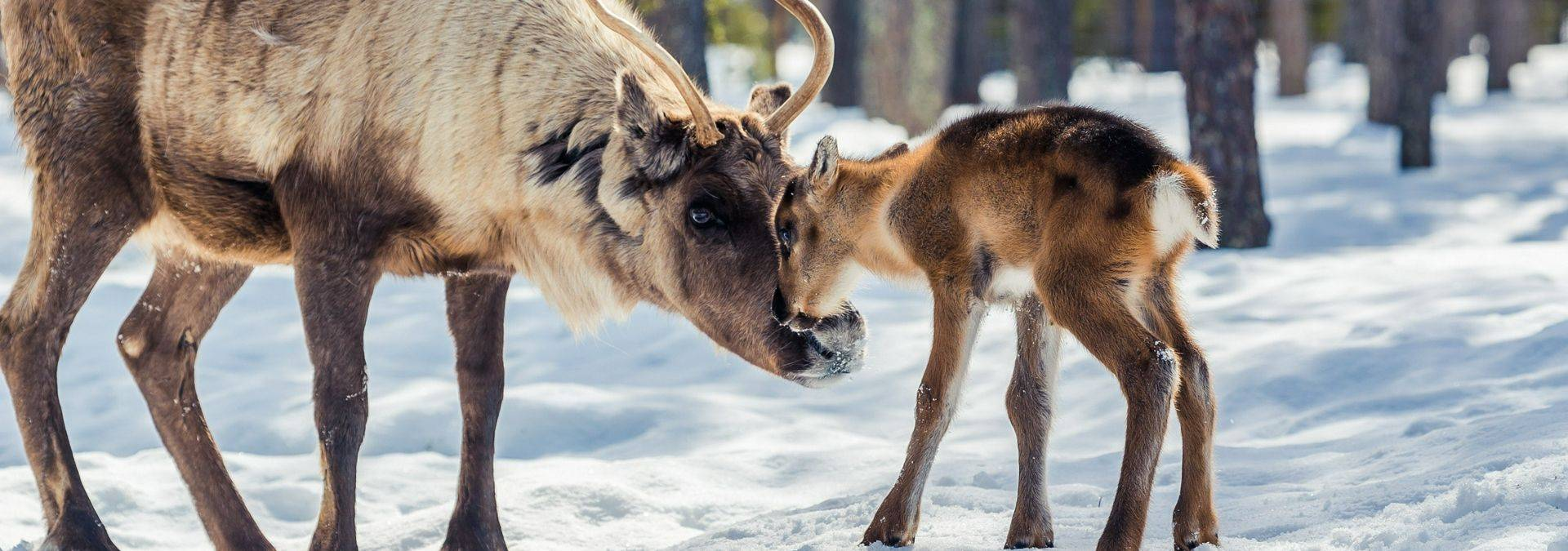 Torassieppi Reindeer Print 15