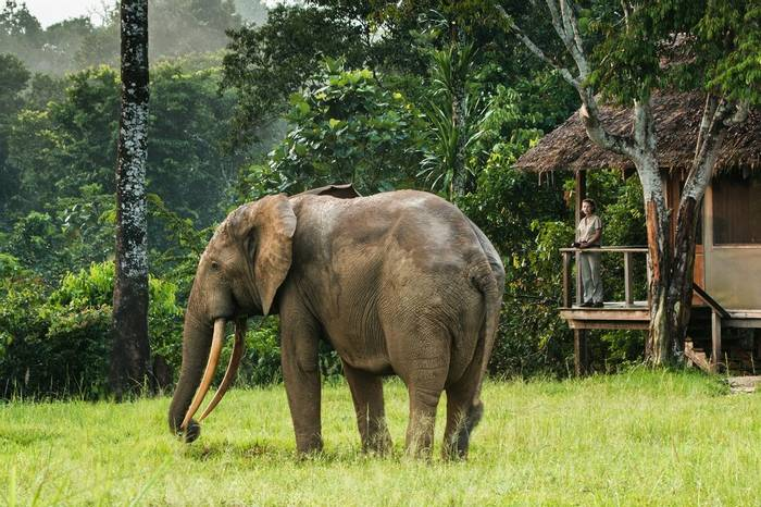 Watching Forest Elephant from camp