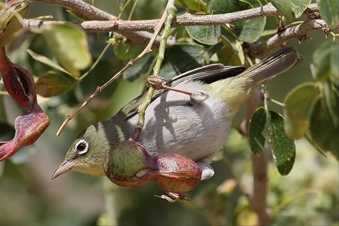 White-breasted White Eye (Chris-Ward)