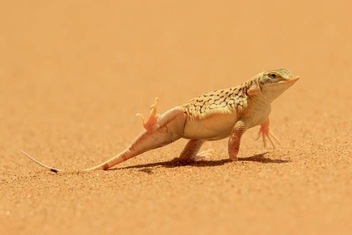 Shovel-snouted Lizard (Meroles anchietae), Namibia
