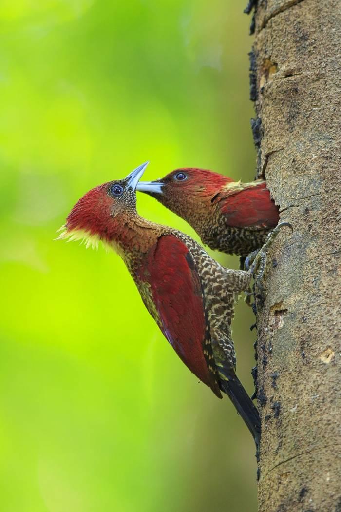 Banded Woodpeckers, Borneo shutterstock_601041245.jpg