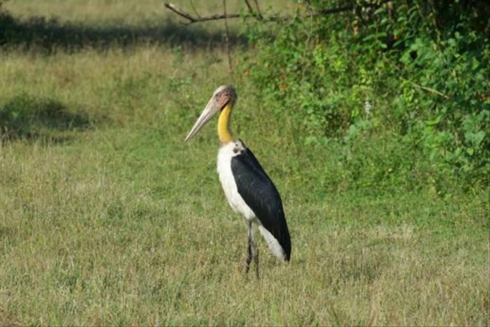 Lesser Adjutant, Yala National Park (David Allison)