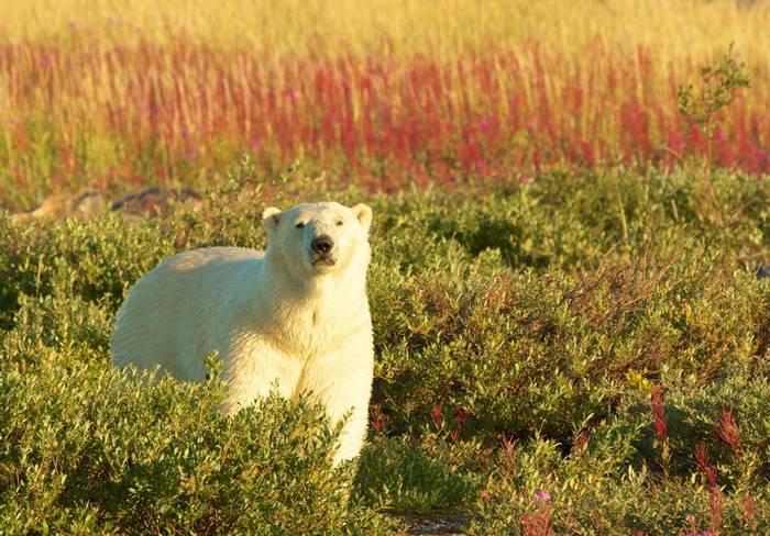Polar Bear, Manitoba shutterstock_152396765.jpg