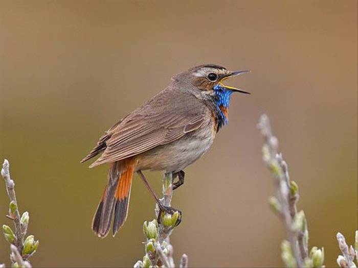 Bluethroat (Jari Peltomaki)