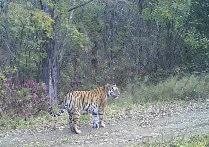 Siberian Tiger On The Road In Durminskoye