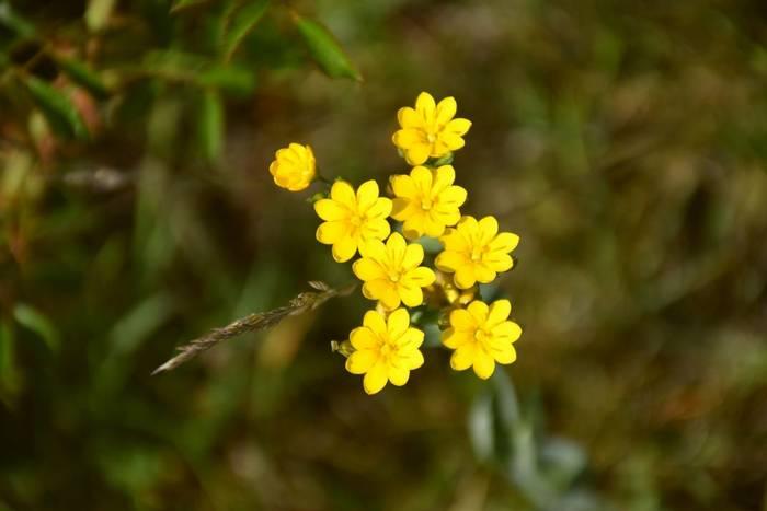 Yellow-wort shutterstock_1761554408.jpg