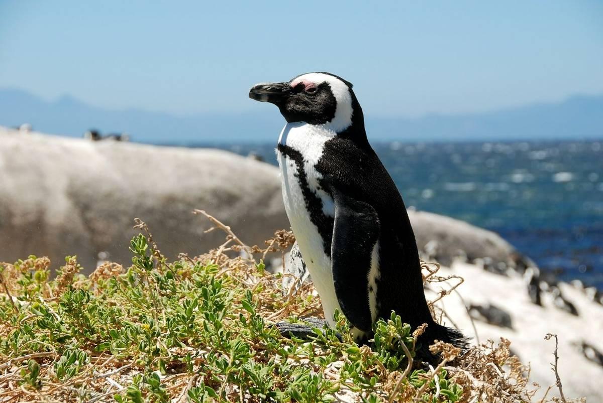 Africa-SouthAfrica-Penguin-AdobeStock_9281619.jpeg