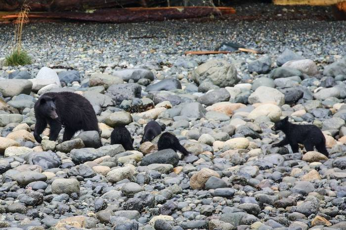 Black Bear and cubs (Peter Dunn)