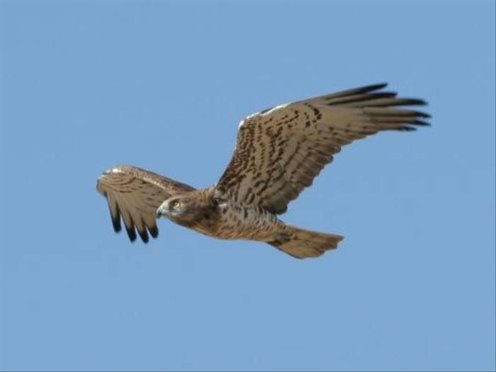 Short-toed Eagle (Peter Dunn)