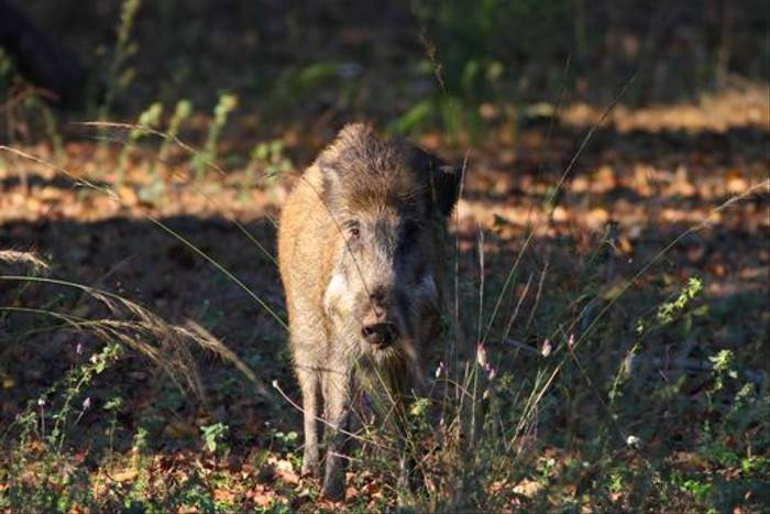 Indian Wild Boar (Ian Williamson)