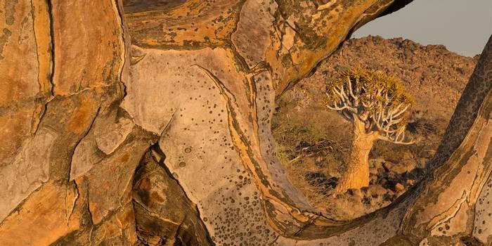 Quiver Trees (Aloe Dichotoma)© R Harvey