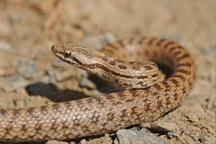 Smooth Snake (David Morris)