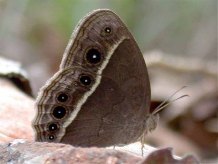 Common Bushbrown (Brian Goodey)