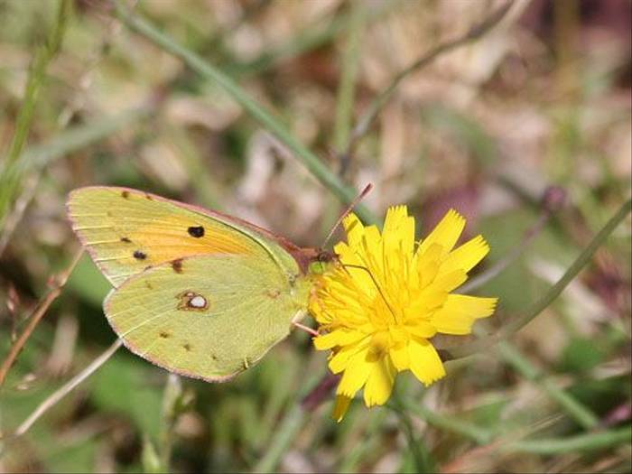 Clouded Yellow (Tony Mainwood)