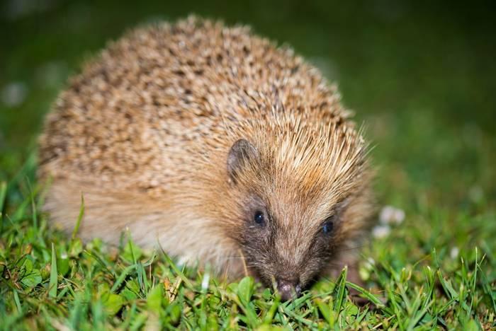 Leucistic Hedgehog, Alderney