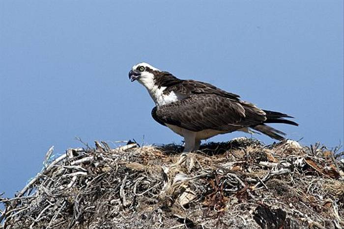 Osprey on nest (Lee Morgan)