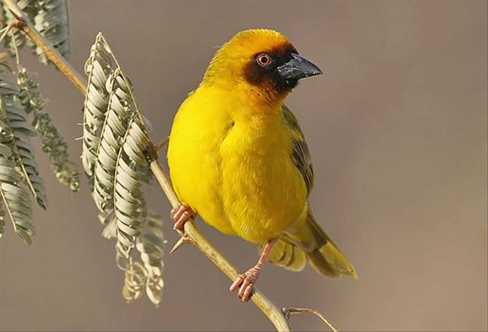 Ruppell's Weaver (Chris-Ward)