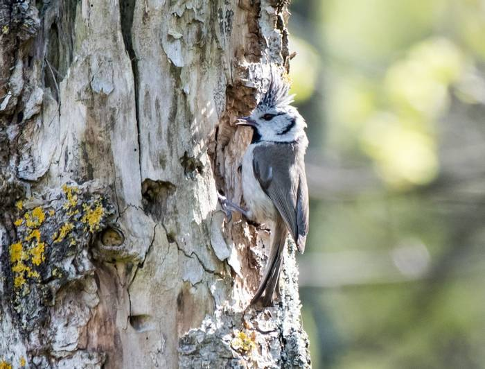 Crested Tit (Alexander Barclay)