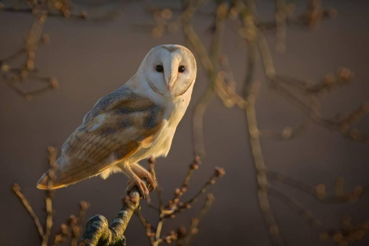 Barn Owl, Norfolk, UK Shutterstock 371233750