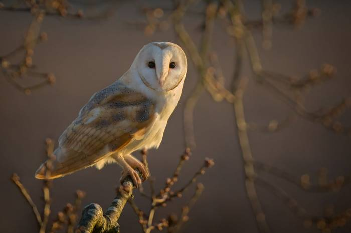 Barn Owl, Norfolk, UK Shutterstock 371233750