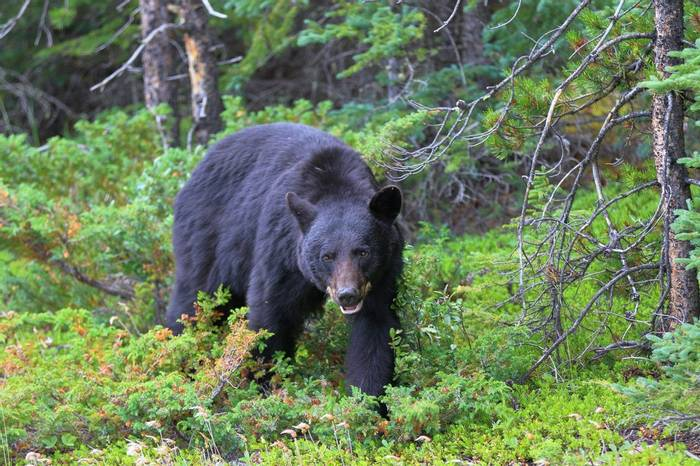 Black Bear, Canada shutterstock_1007384791.jpg