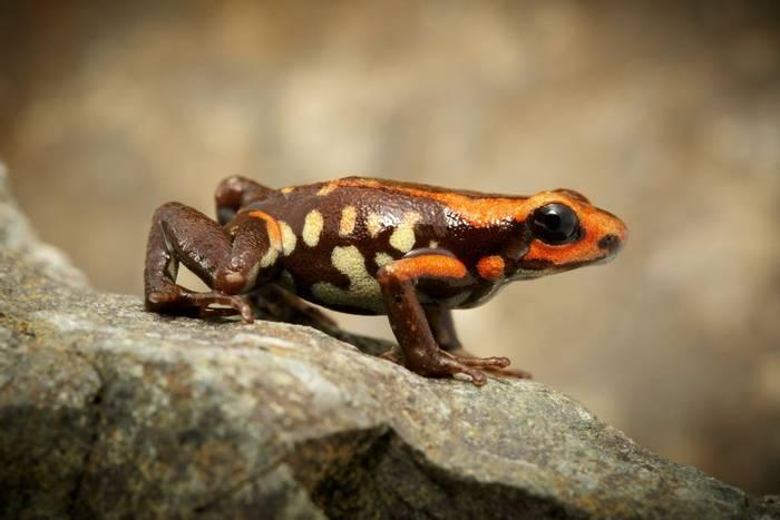 Cauca Poison Frog (Andinobates bombetes)