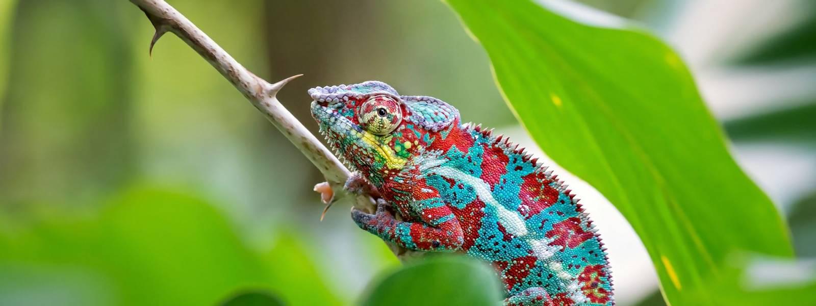 Africa-Madagascar-PantherChameleon-AdobeStock_159028789.jpeg