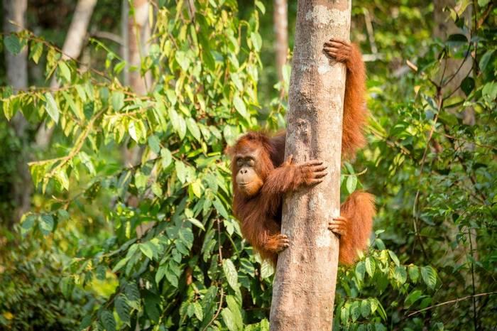 Orang Utan, Borneo Shutterstock 741097516