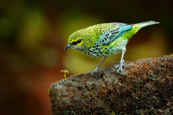 Speckled Tanager, Costa Rica shutterstock_551809189.jpg