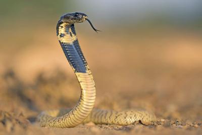 Egyptian Cobra (Naja haje)