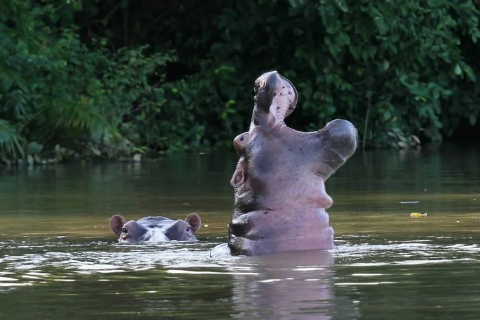 Hippopotamus, The Gambia shutterstock_1214426500.jpg