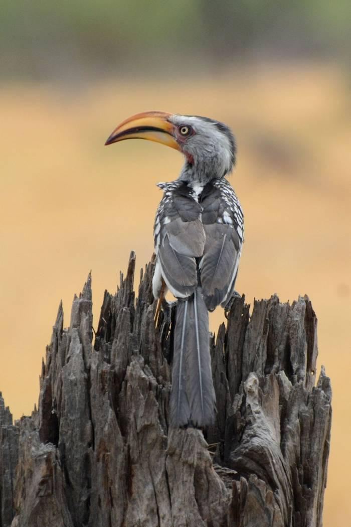Yellow Billed Hornbill (Rob Thatcher)