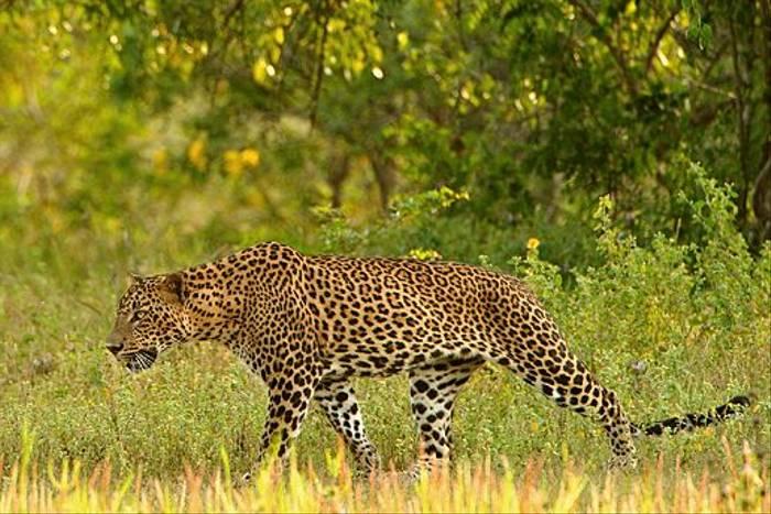Leopard (Anne-Marie Kalus)