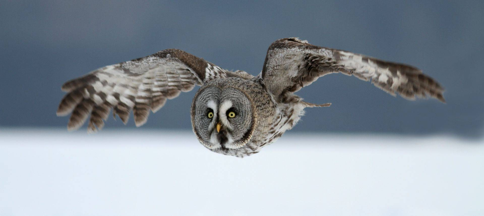 Great Grey Owl Shutterstock 150484769