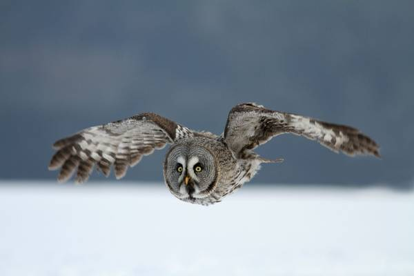 Great Grey Owl Shutterstock 150484769