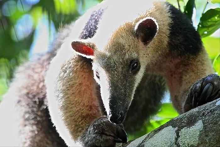 Lesser Anteater (Dani Free)