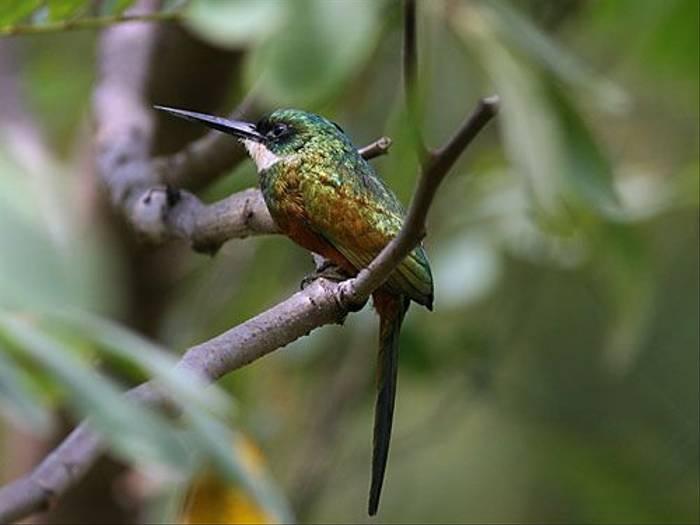 Rufous-tailed Jacamar (Peter Dunn)