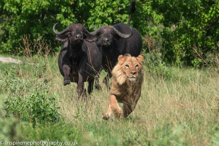 African Buffalo and Lion (Donna Robinson)