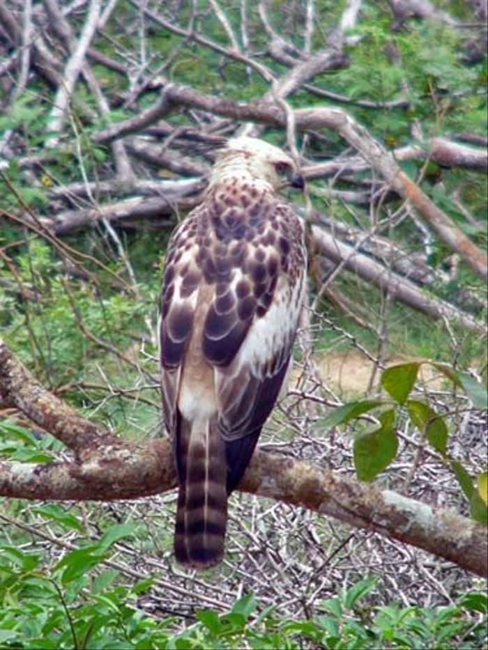 Changeable Hawk-Eagle (Barbara Lovell)