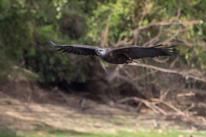 Madagascar Fish Eagle (Aniket Sardana)