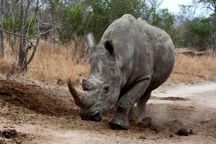 White Rhino (Leon Marais)