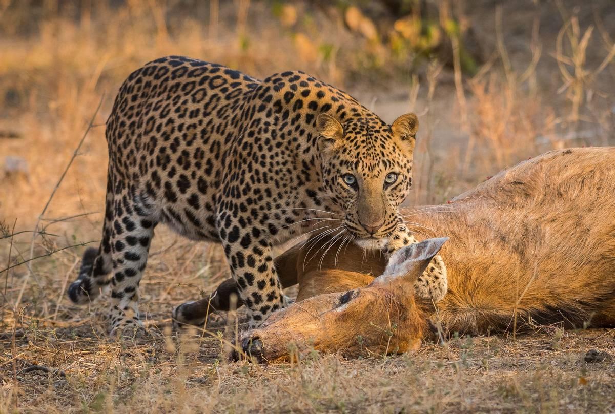 Leopard, India shutterstock_1235950798.jpg