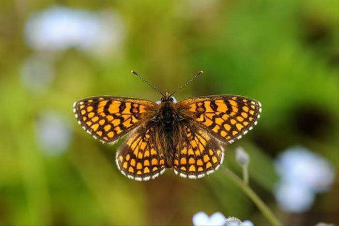 Heath Fritillary (David Morris)
