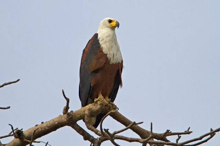 Af Fish Eagle Gambia 11.10   2