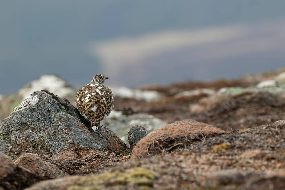 Ptarmigan, Scotland Shutterstock 1068444623