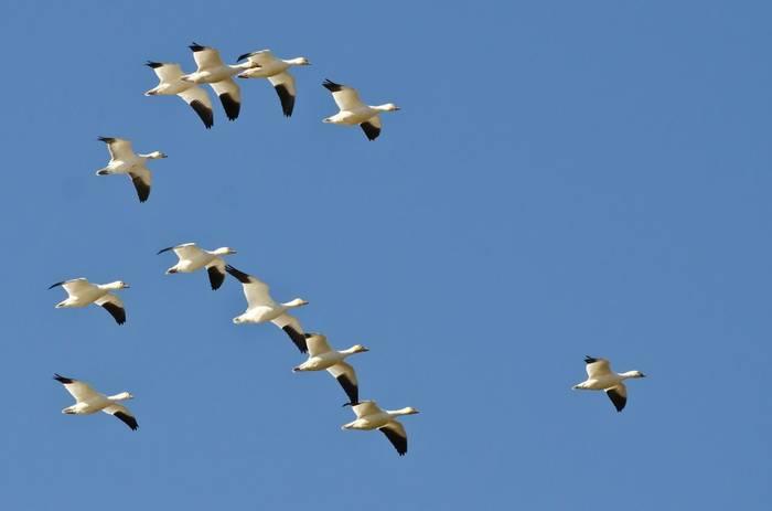 Snow Geese, Canada shutterstock_300894812.jpg